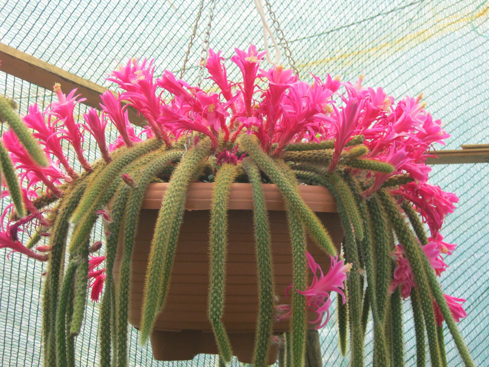 Disocactus flagelliformis rat tail cactus world of for Cactus de navidad