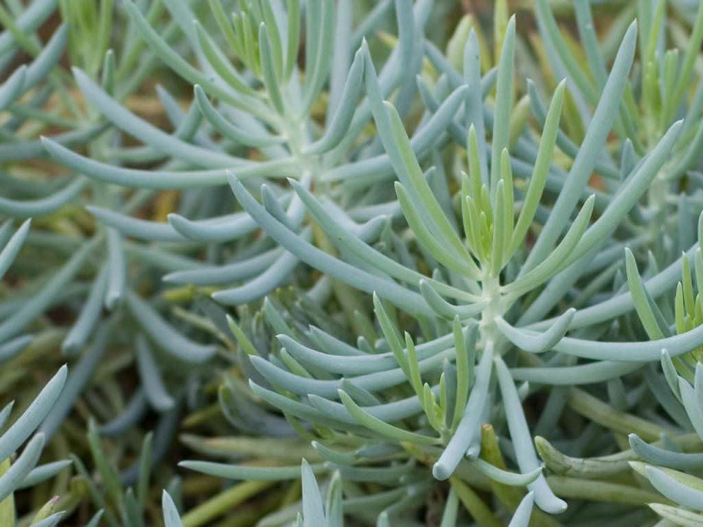Blue chalk sticks plant - Senecio Serpens