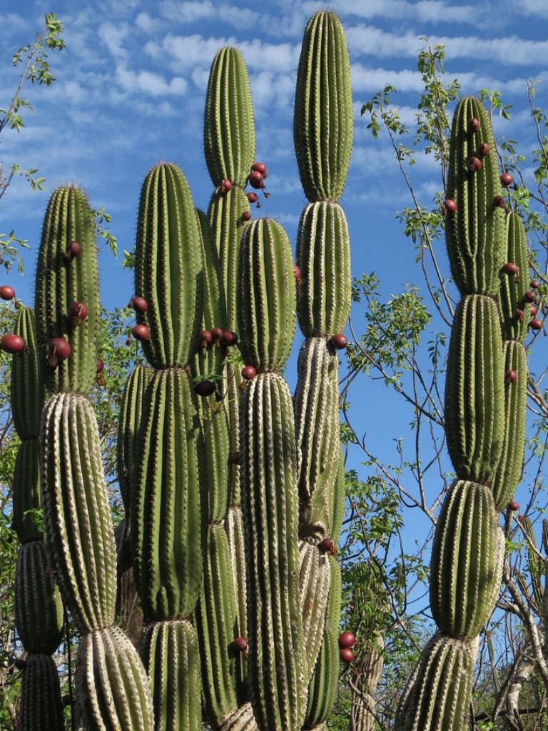 jasminocereus thouarsii candelabra cactus world of succulents. Black Bedroom Furniture Sets. Home Design Ideas