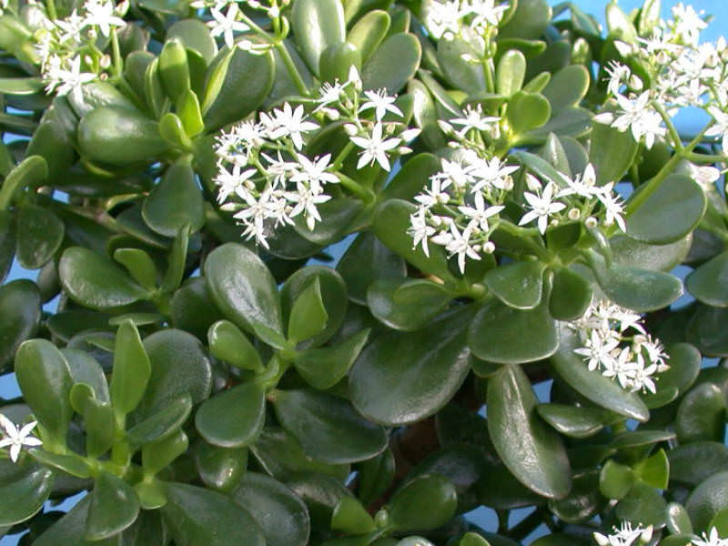 Uses of Jade Plant in Folk Medicine : World of Succulents