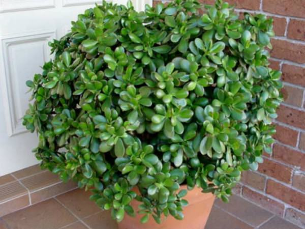 Money Plant The Ultimate Symbol Of Prosperity World Of Succulents