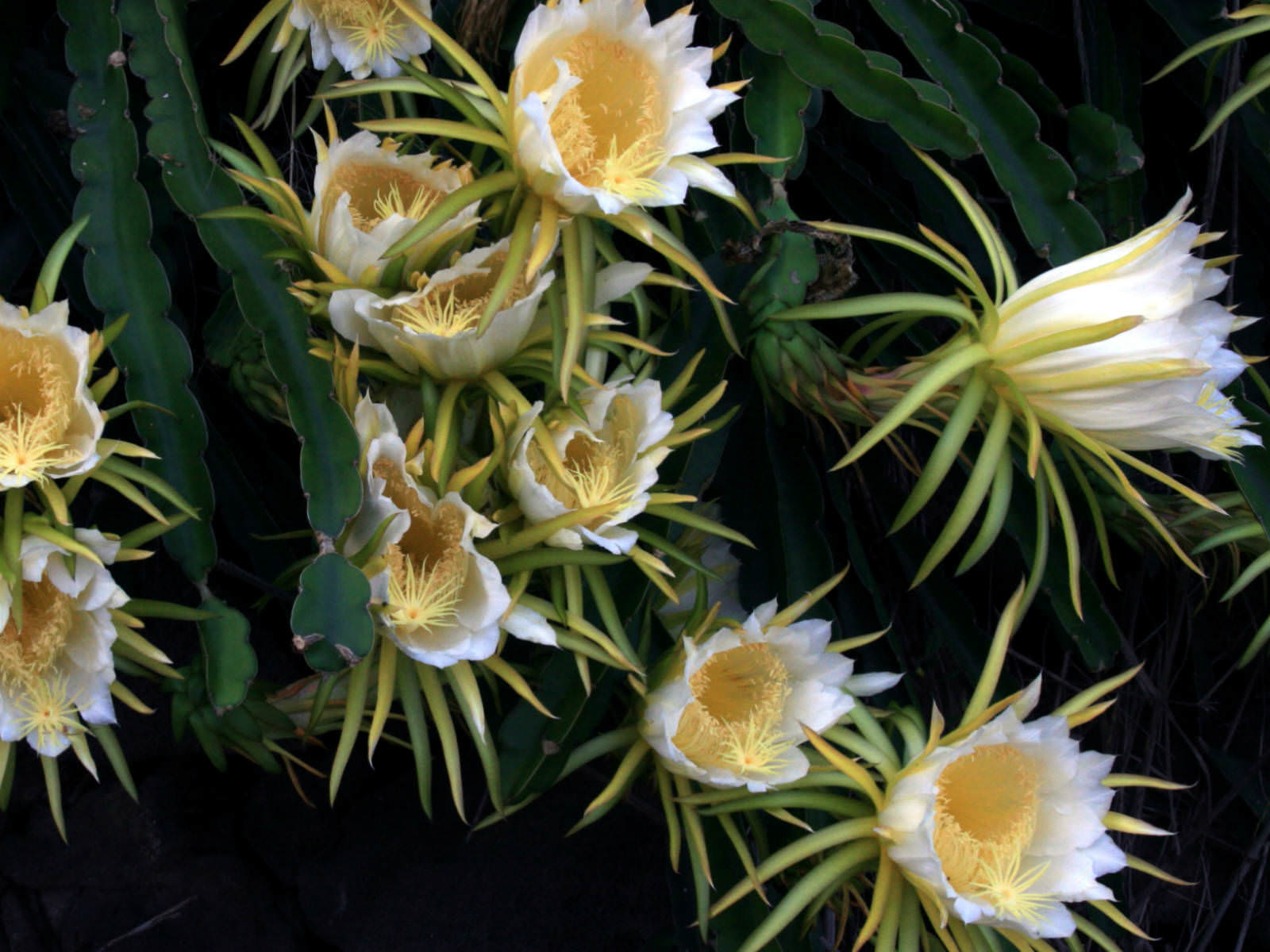 hylocereus undatus night blooming cereus dragon fruit
