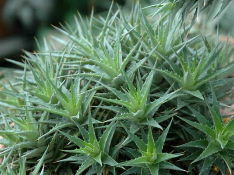 Deuterocohnia Brevifolia Care Deuterocohnia Brevifolia