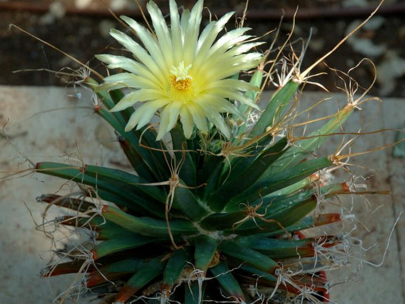 Semis de Leuchtenbergia (cactus) Leuchtenbergia-principis-Prism-Cactus1