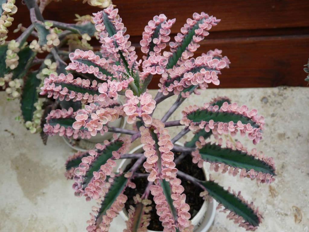 Kalanchoe Pink Butterflies World Of Succulents