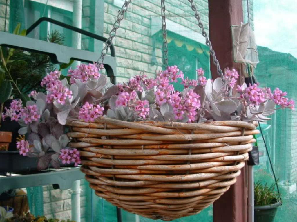 Kalanchoe Pumila Flower Dust Plant World Of Succulents