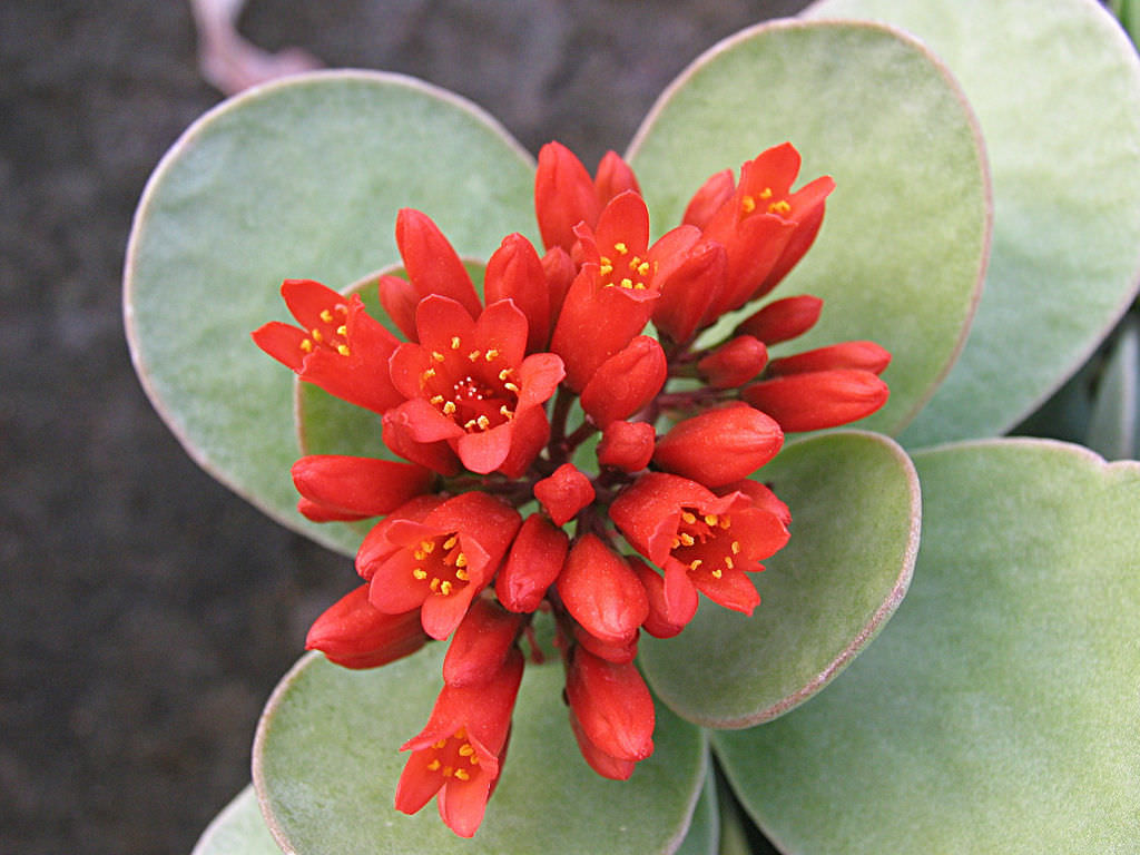 Kalanchoe Scapigera Mealy Kalanchoe World Of Succulents